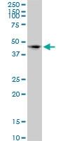 CD172a Antibody | 4C7 gallery image 1