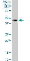 CD172a Antibody   4C7 gallery image 1