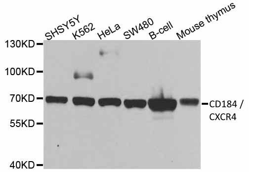 CD184 / CXCR4 Antibody gallery image 1