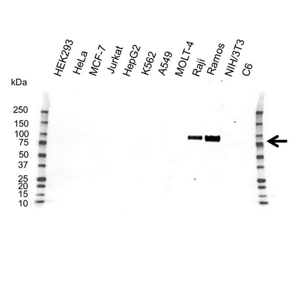 CD19 Antibody (PrecisionAb<sup>TM</sup> Antibody) gallery image 1