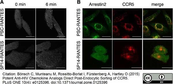 CD195 Antibody | HEK/1/85a thumbnail image 3