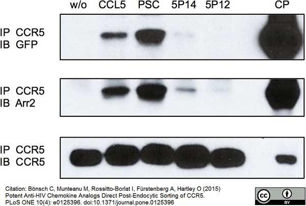 CD195 Antibody | HEK/1/85a thumbnail image 2