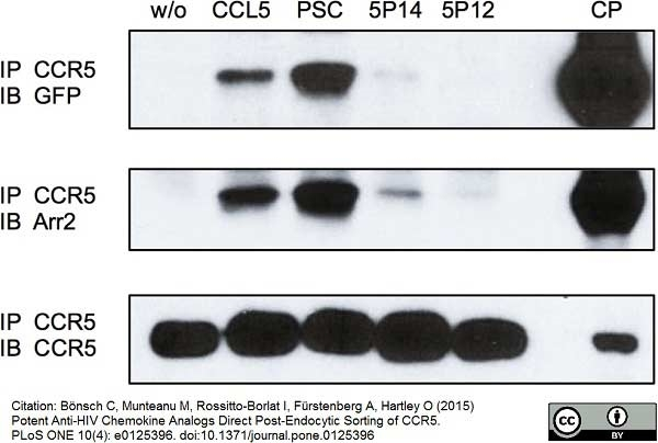 CD195 Antibody | HEK/1/85a gallery image 2