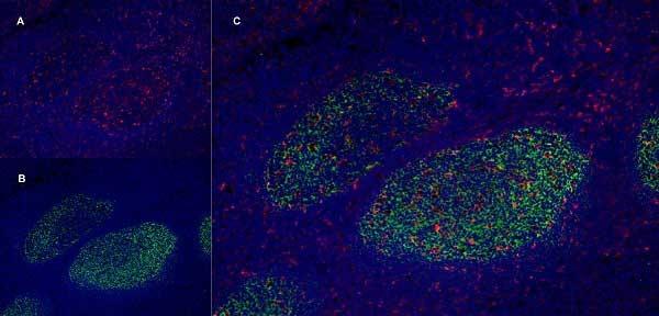 CD205 Antibody | MG38 gallery image 7