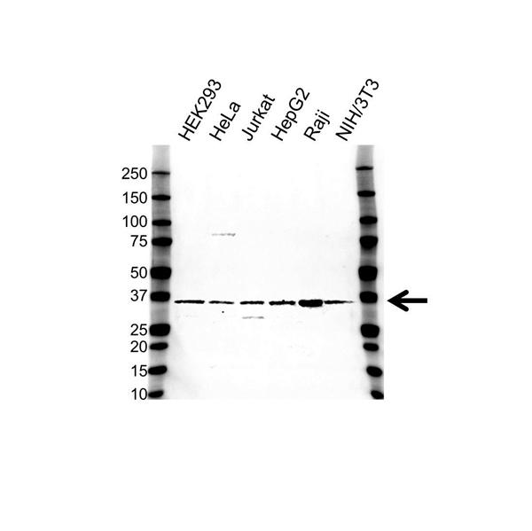 CD226 Antibody (PrecisionAb<sup>TM</sup> Antibody) gallery image 1