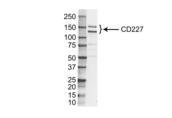 CD227 Antibody | VU-3C6 gallery image 1