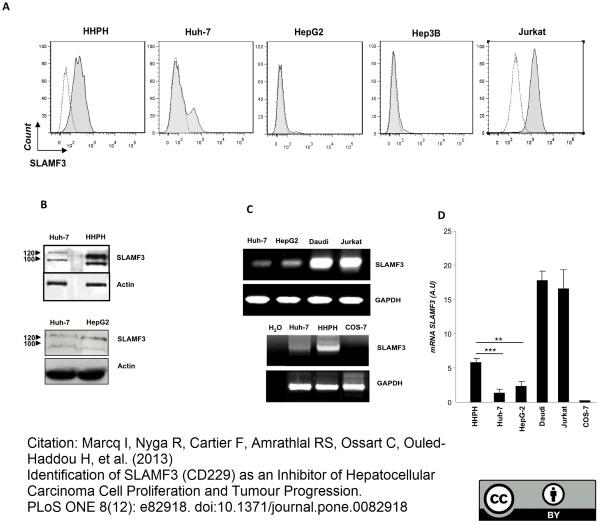CD229 Antibody | HLy9.1.25 gallery image 3
