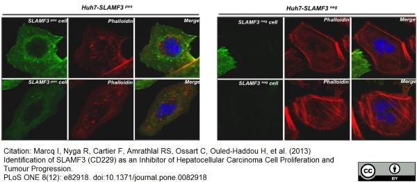 CD229 Antibody | HLy9.1.25 gallery image 9