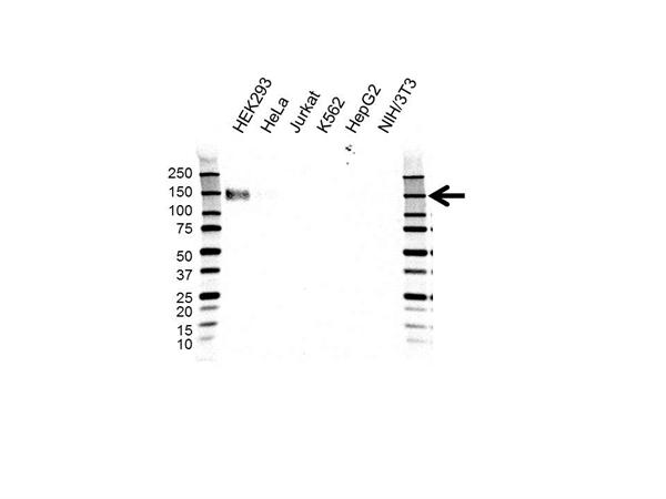 CD243 Antibody (PrecisionAb<sup>TM</sup> Antibody) | OTI2C7 gallery image 1