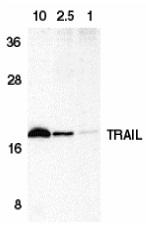 CD253 Antibody gallery image 2