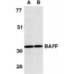 CD257 Antibody gallery image 1