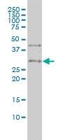 CD27 Antibody | 1E2-A3 gallery image 1