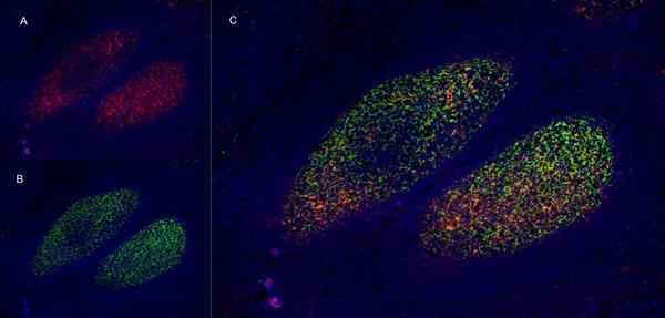 CD273 Antibody | MIH14 gallery image 9