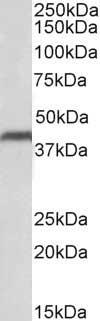CD274 Antibody gallery image 3