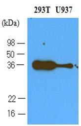 CD279 Antibody | 4F12 gallery image 1