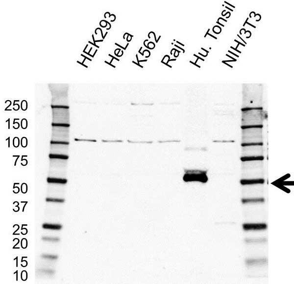 CD28 Antibody (PrecisionAb<sup>TM</sup> Antibody) gallery image 1