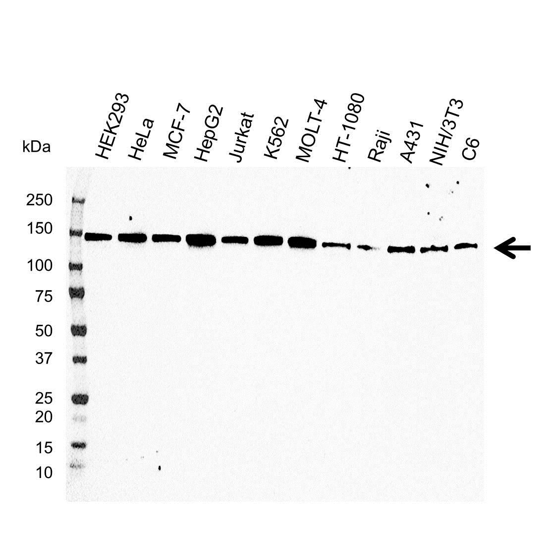 CD29 Antibody (PrecisionAb<sup>TM</sup> Antibody) gallery image 1