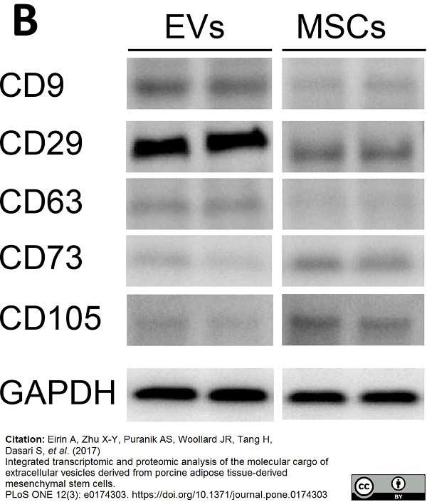 CD29 Antibody   JB1B gallery image 1