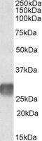 CD305 Antibody gallery image 1