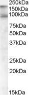 CD318 Antibody gallery image 1