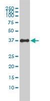 CD321 Antibody | 2E3-1C8 gallery image 2