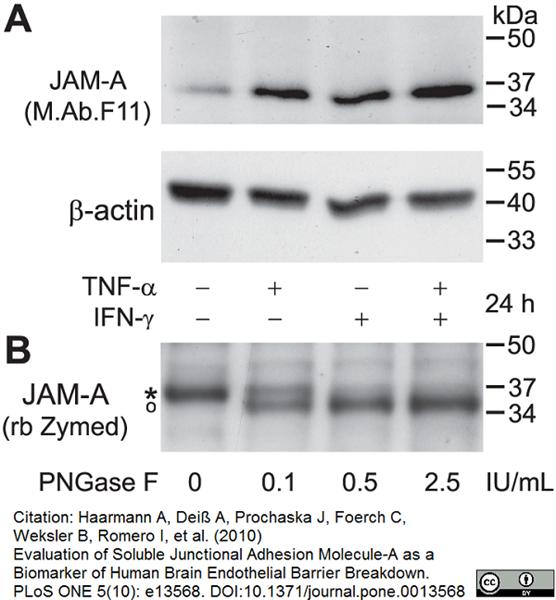CD321 Antibody | M.Ab.F11 gallery image 3