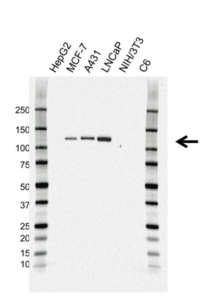 CD324 Antibody (PrecisionAb<sup>TM</sup> Antibody) gallery image 1