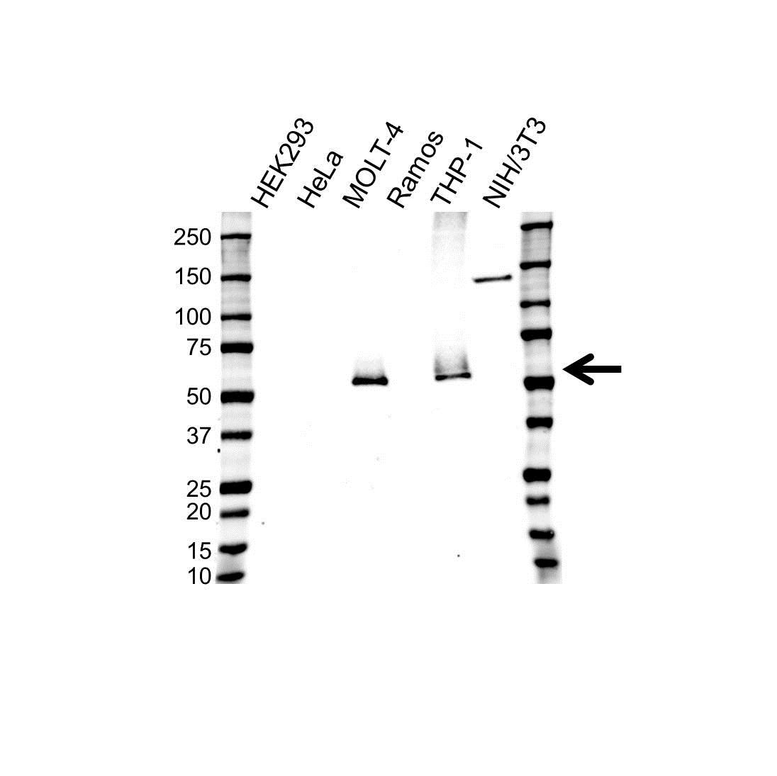 CD4 Antibody (PrecisionAb<sup>TM</sup> Antibody)   UMAB64 gallery image 1