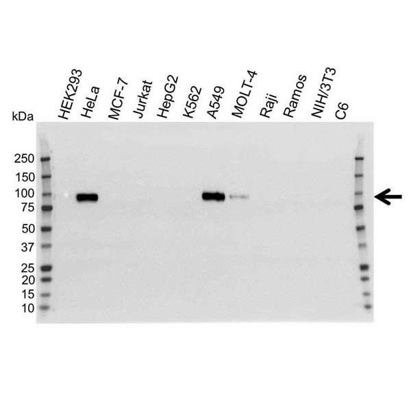 CD44 Antibody (PrecisionAb<sup>TM</sup> Antibody) gallery image 1