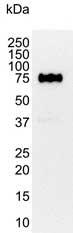 CD44 Antibody | 156-3C11 gallery image 1