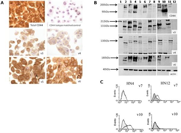 CD44v4 Antibody | VFF-11 gallery image 1