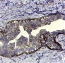 CD44v5 Antibody   VFF-8 thumbnail image 2