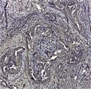 CD44v6 Antibody | VFF-7 thumbnail image 1
