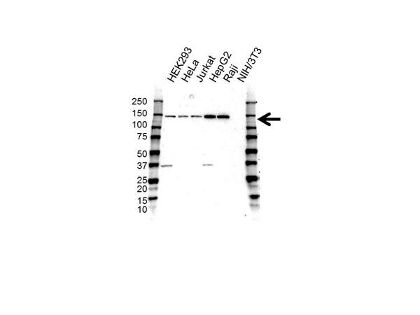 CD49a Antibody (PrecisionAb<sup>TM</sup> Antibody) gallery image 1