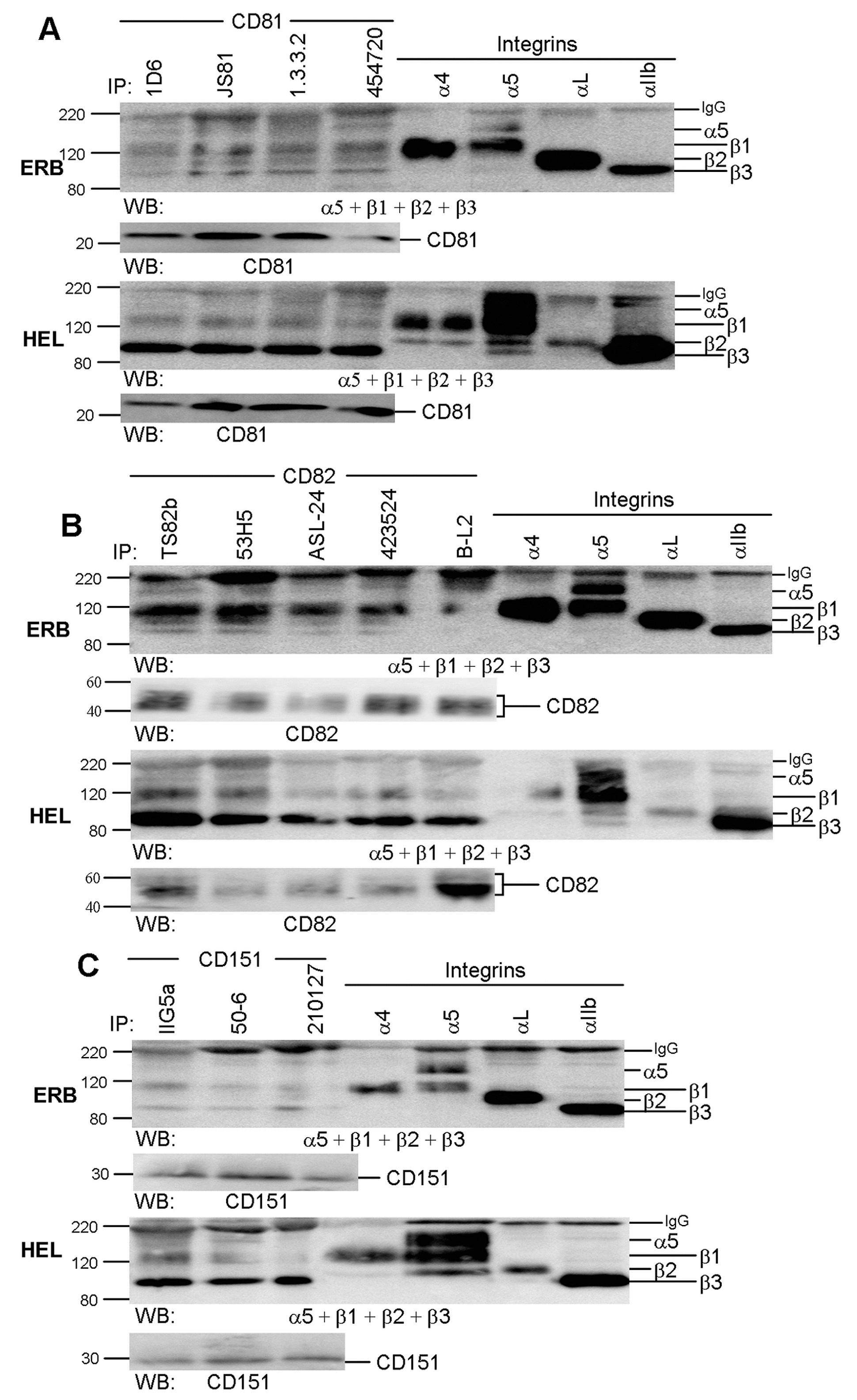CD49d Antibody | HP2/1 gallery image 4
