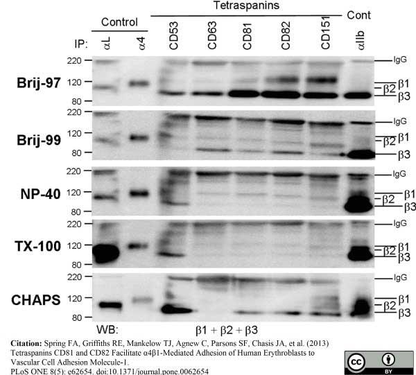 CD53 Antibody   MEM-53 gallery image 4