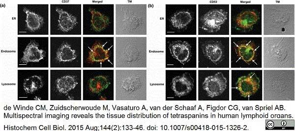 CD53 Antibody   MEM-53 gallery image 2