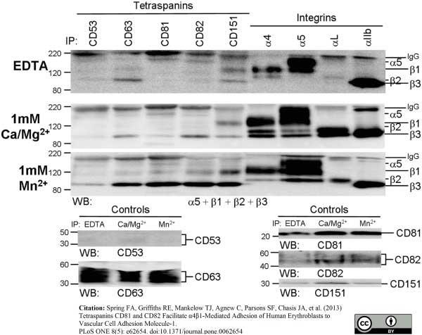 CD53 Antibody   MEM-53 gallery image 5