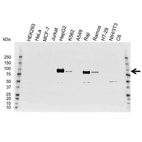 CD54 Antibody (PrecisionAb<sup>TM</sup> Antibody) gallery image 1