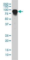 CD55 Antibody | 1G3 gallery image 1