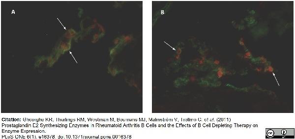 CD55 Antibody | 67 gallery image 7