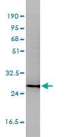 CD58 Antibody | 2D11-B10 gallery image 4