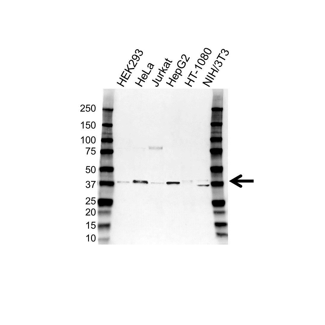 CD62L Antibody (PrecisionAb<sup>TM</sup> Antibody) gallery image 1