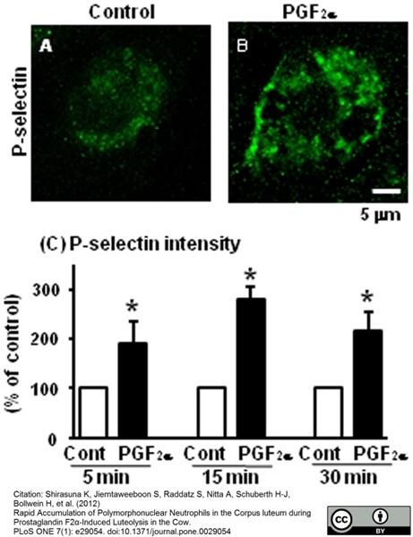 CD62P Antibody | Psel.KO.2.7 gallery image 5