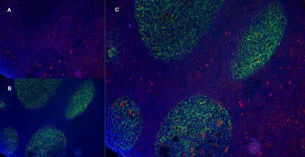 CD83 Antibody | HB15e gallery image 8