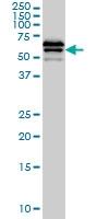 CD85d Antibody | 1D4 gallery image 1