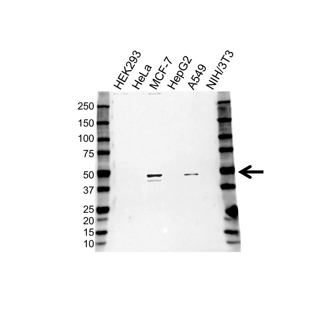 CD88 Antibody (PrecisionAb<sup>TM</sup> Antibody) gallery image 1