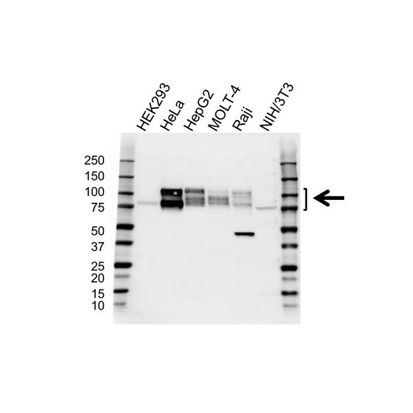 CD98 Antibody (PrecisionAb<sup>TM</sup> Antibody) gallery image 1