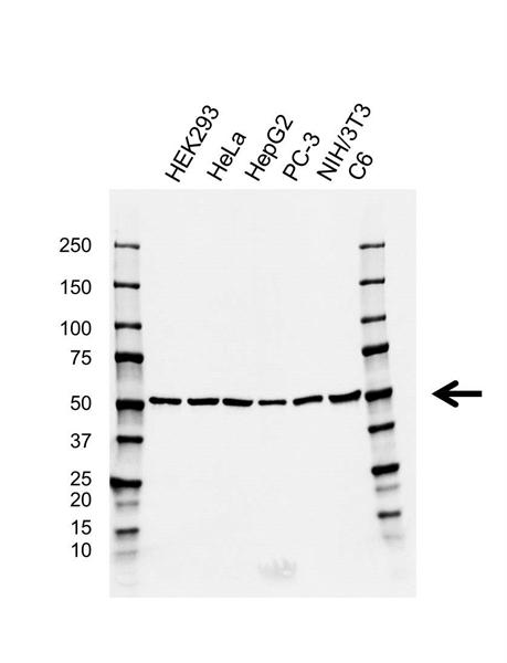 CDC20 Antibody (PrecisionAb<sup>TM</sup> Antibody) | GH02/4F3 gallery image 1
