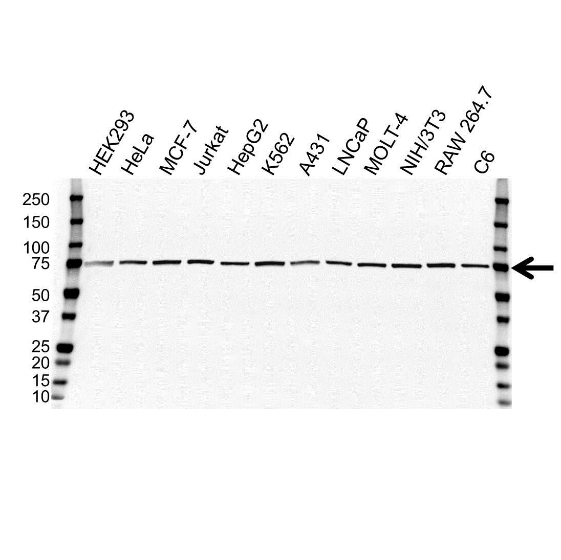 Cdc25C Antibody (PrecisionAb<sup>TM</sup> Antibody) gallery image 1